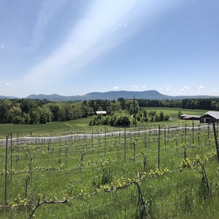 Glendale Ridge Vineyard