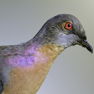 Final Flight: The Extinction of the Passenger Pigeon