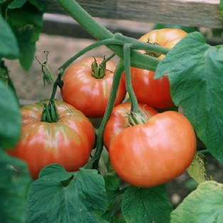 Heirloom Plant Sale and Tomato Days